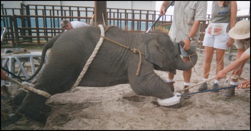 Circus_baby_elephant_cruelty