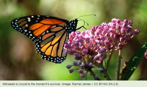 Milkweed is crucial to the monarch's survival. (Image: Rachel James – CC BY-NC-SA 2.0)