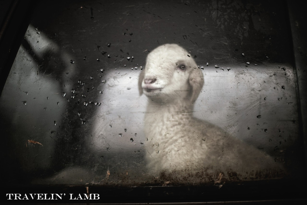 Travelin lamb
