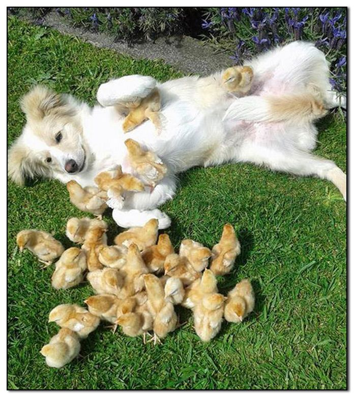 Dog & Chicks