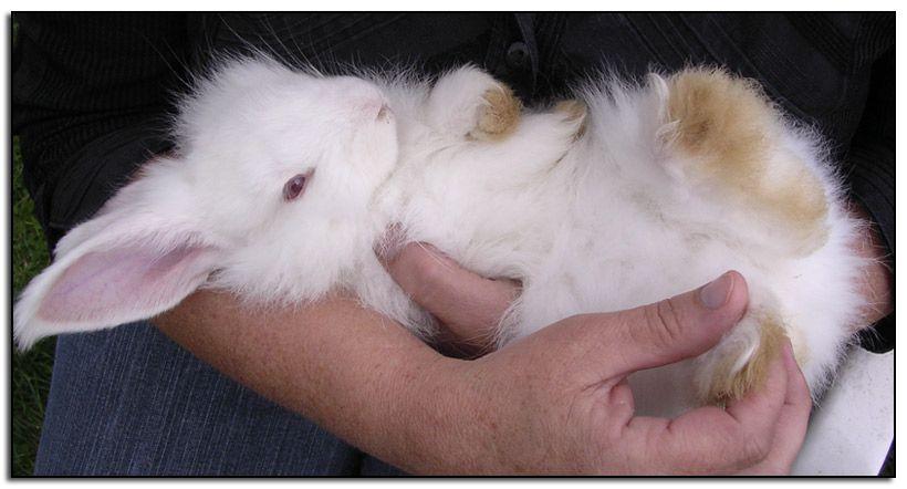 Baby-angora-rabbit