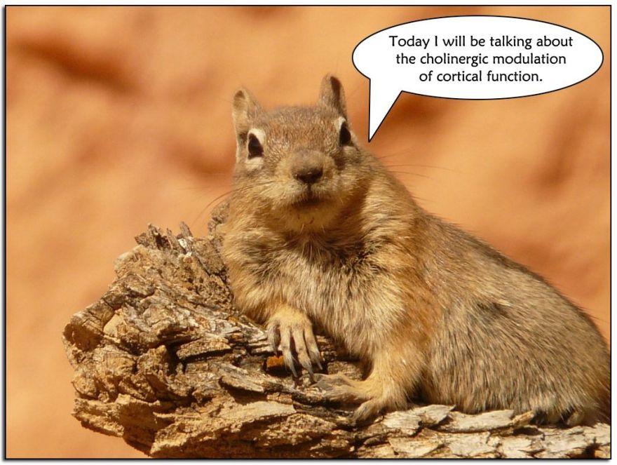 Golden-mantled-ground-squirrel