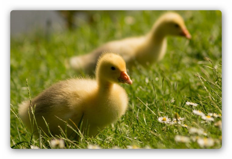 ducklings2