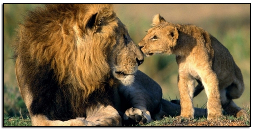Lion-and-cub