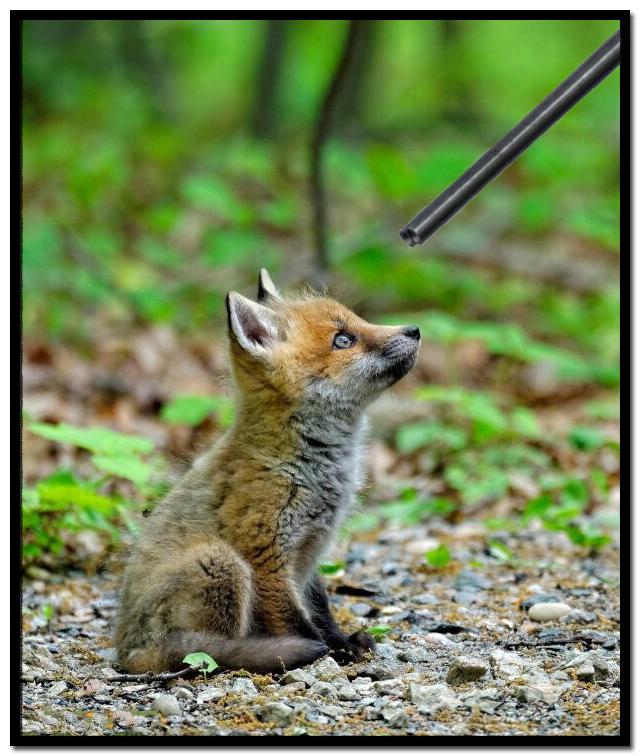 Fox-Cub__