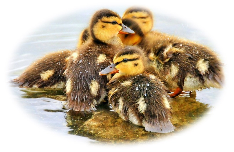 Ducklings__