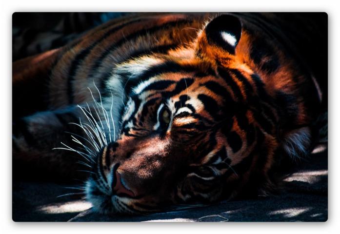 Tiger__